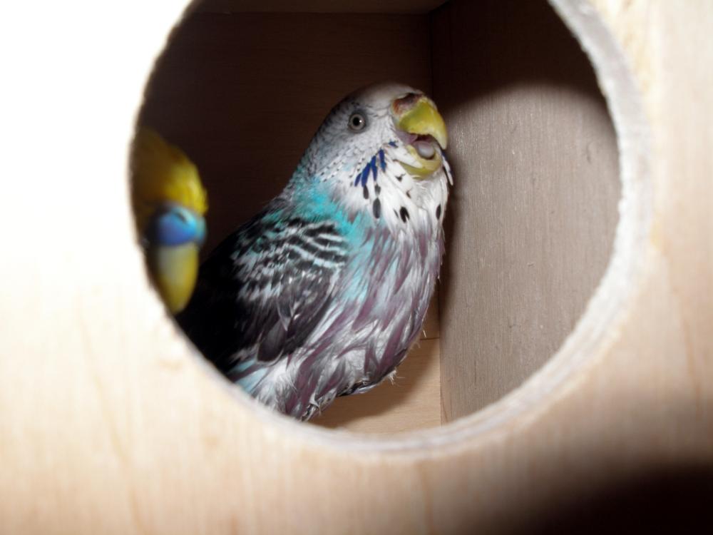 G n tique des couleurs chez la perruche ondul e for Oiseau par la couleur